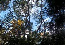 Ulmus villosa takken tegen de hemel.
