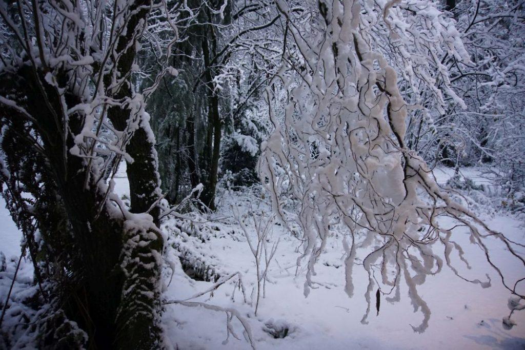 Bomen met laaghangende takken door de zwaarte van de sneeuw in Wageningen-Hoog.