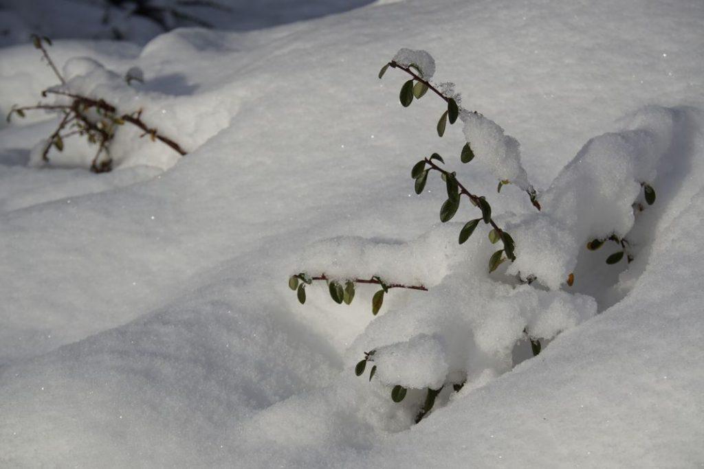 Takjes komen nog net boven de sneeuw uit in Belmonte Arboretum Wageningen.